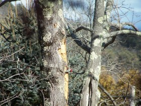Pileated Woodpecker Holes in Camden (2012)