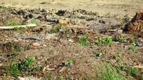 Killdeer in Stacyville (2012)