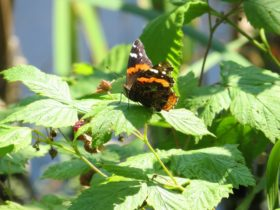 Red Admiral Butterfly in Litchfield (2012)