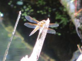 Four-spot Skimmer