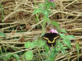 Eastern Black Swallowtail (2012)