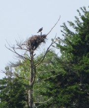Osprey Overlooking Harpswell Sound (2012)