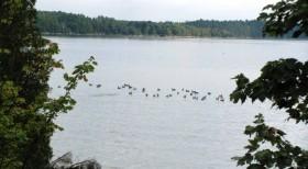 Canada Geese Awaiting Takeoff