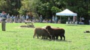 Sheep Herding Demonstration at the Common Ground Fair (2012)