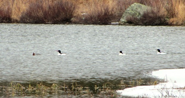 Common Mergansers on Giles Pond in Aurora