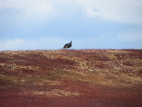 Turkey on a Blueberry Barren West of the Great Pond Road (2013)