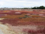 Blueberry Barrens in Otis on Route 180