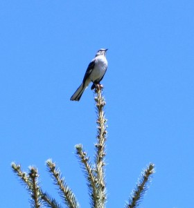 Northern Shrike in Brewer (May, 2013)