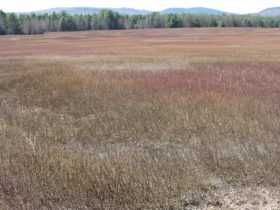 Silsby Plain Glacial Remnant and Blueberry Barrens in Aurora (2013)