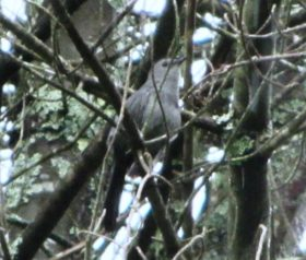 Gray Catbird in a Tree in Harpswell