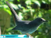 Gray Catbird near a Bird Feeder (2013)