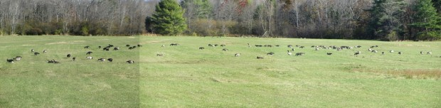 Large Flock of Canada Geese off Route 115 in North Yarmouth (October 2013)