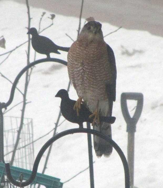 Coopers Hawk near bird feeders in Harpswell, Maine (2014)