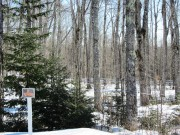 Maple Trees Tapped for Maple Syrup on Route 6 in Carroll Plantation (2014)