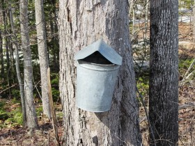 Maple tree tap with pail at Partridge Hill Farm Maple in Woolwich (2014)