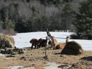 Alpacas at Partridge Hill Farm (2014)