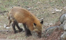 Red Fox with Mange in Harpswell (2014)