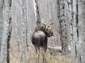 Moose with Mange near Route 11 in T4 R9 NWP (2014)