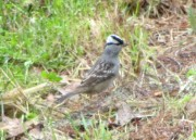 White-crowned Sparrow in Harpswell (2014)