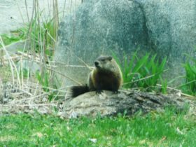 Woodchuck near the Dead River in The Forks (2014)