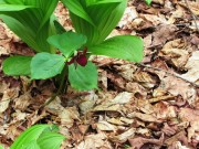 Purple Trillium near Cold Stream and Mountain Brook Road (2014)