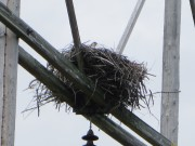 Osprey in Nest near Porter Preserve on Woodmans Mill Road in Searsmont (2014)