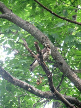 Red-Tailed Hawk in a Tree on the Lunksoos Camps Road in the Maine woods (2014)