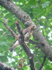 Red-Tailed Hawk in aTree on the Lunk Soos Camps Road near the Camps
