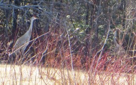 Sandhill Crane in Sherman (2015)
