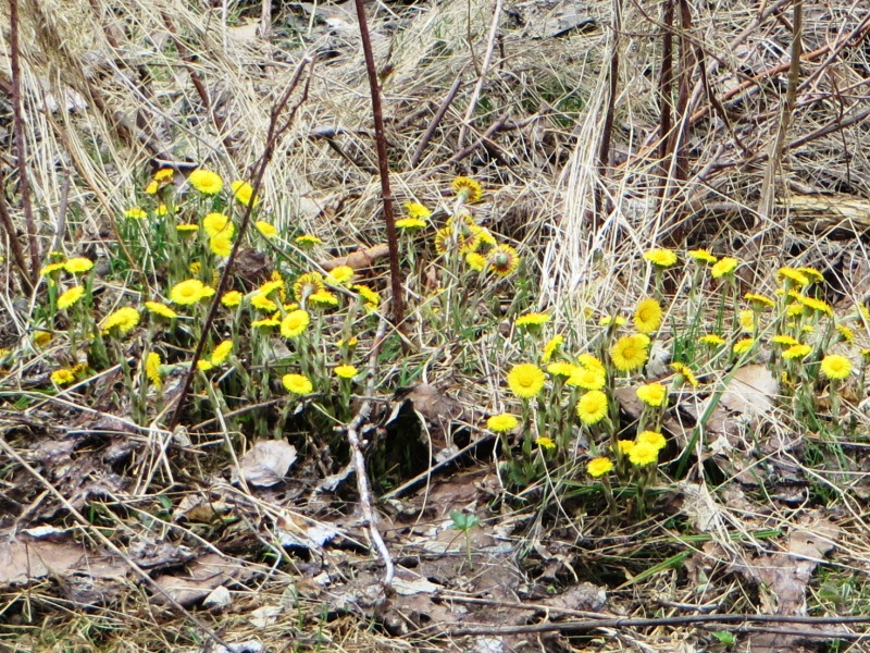 Coltsfoot On Rocky Brook Road In T8 R8 Wels 2017