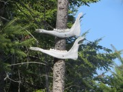 Two Moose Jaws nailed to a tree on the Mooseleuk Dam Road (2015)