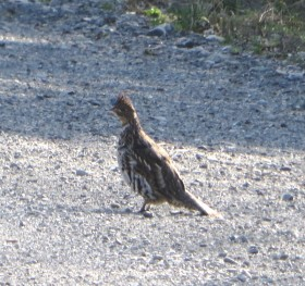 Ruffed Grouse on the Pinkham Road near the intersection with the Pelletier Road in T9 R8 WELS (2015)