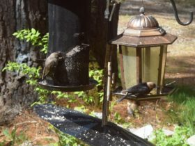 Cowbirds at a Feeder: female at left, male at right (2016)