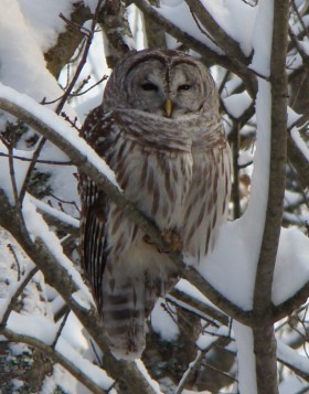 Barred Owl in Harpswell (2007)