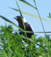 Male Bobolink at Mitchell Field in Harpswell
