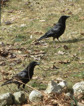 Crows Searching for Food (2013)