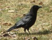 American Crow (2013)