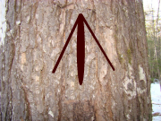 King's Pine with Broad Arrow