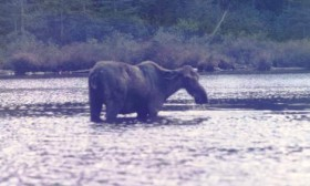 Moose in Spectacle Pond (1988)
