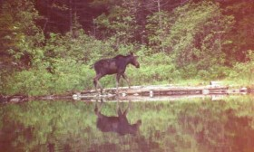 Moose in Spectacle Pond (1992)