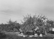 Apple Harvest in Parsonsfield, George French Collection, Maine State Archives