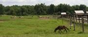Horses Grazing (2006)