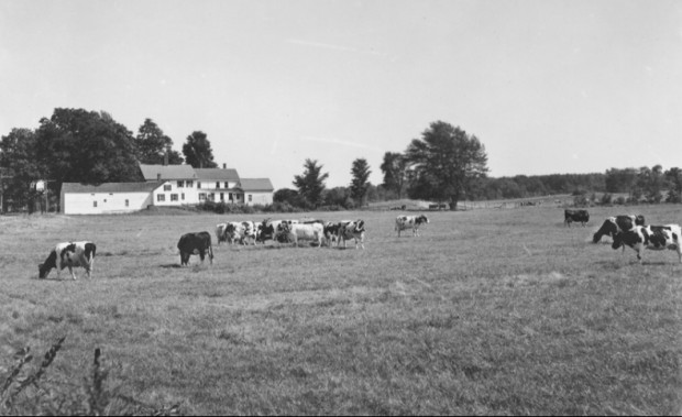 Dairy Herd in Hollis (1950's), George French Collection, Maine State Archives