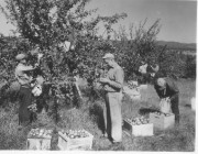 Harvesting Apples (George French Collection, Maine State Archives)