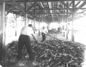 Processing the Corn Harvest, Fryeburg (1950's)