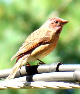 Male House Finch (2007)