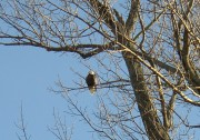 Bald Eagle Surveying the Kennebec River (2005)