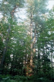 Tall Pines in The Hermitage