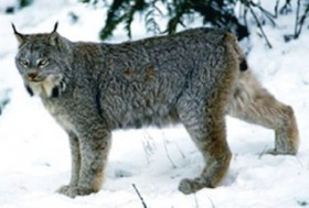 Canada Lynx (U.S. Fish and Wildlife Service)