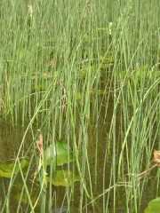 Reeds, Lilies in the Cathance River (2003)